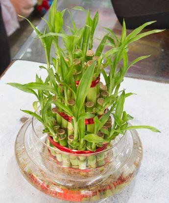 Good Luck Bamboo
